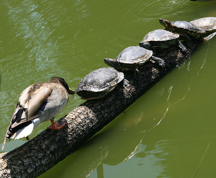Duck and Turtles Photo - Great for an Inference Lesson