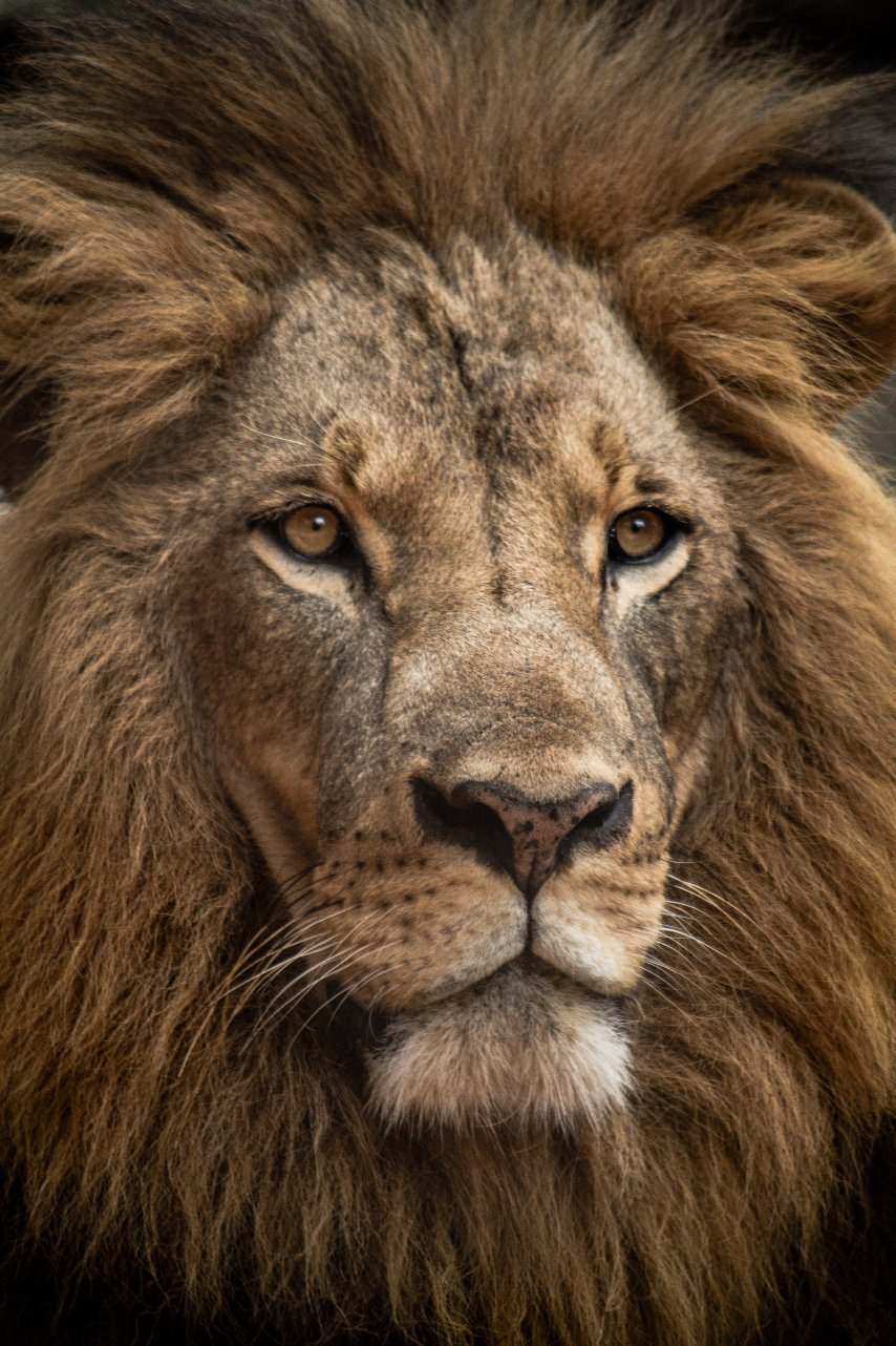 Student Report on Lions
